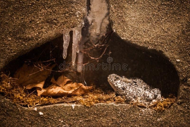 Διαχείμαση. Παγωμένος βάτραχος στο χειμερινό βιότοπό του στοκ φωτογραφίες