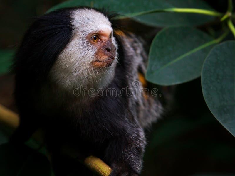διευθυνμένο marmoset λευκό πο&rh στοκ εικόνες