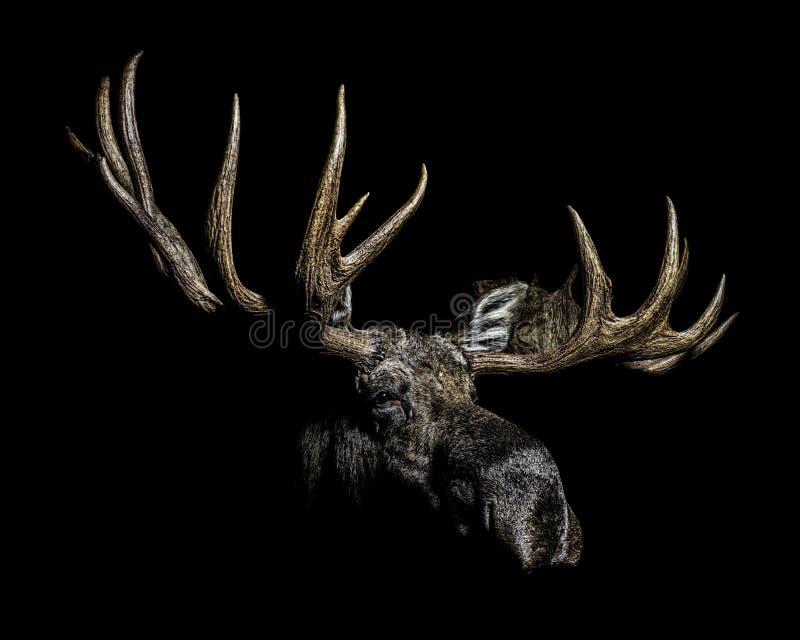 Δικαίωμα σχεδιαγράμματος πορτρέτου αλκών του Bull στοκ φωτογραφία