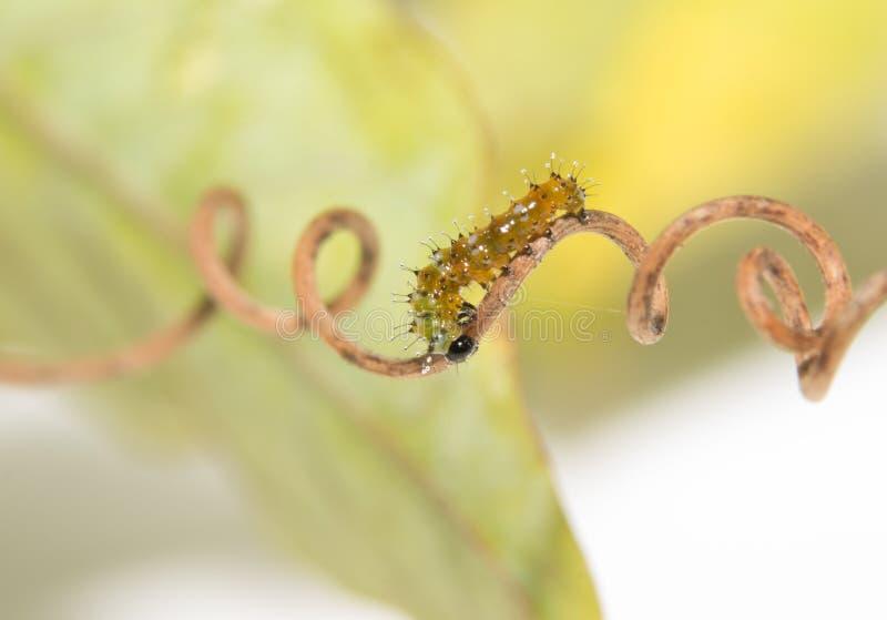 Διμερής παλαιά κάμπια πεταλούδων Fritillary Κόλπων που περπατά σε έναν σπειροειδή tendril στοκ φωτογραφία