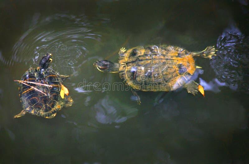 διογκωμένες χελώνες ολισθαινόντων ρυθμιστών κίτρινες στοκ εικόνα