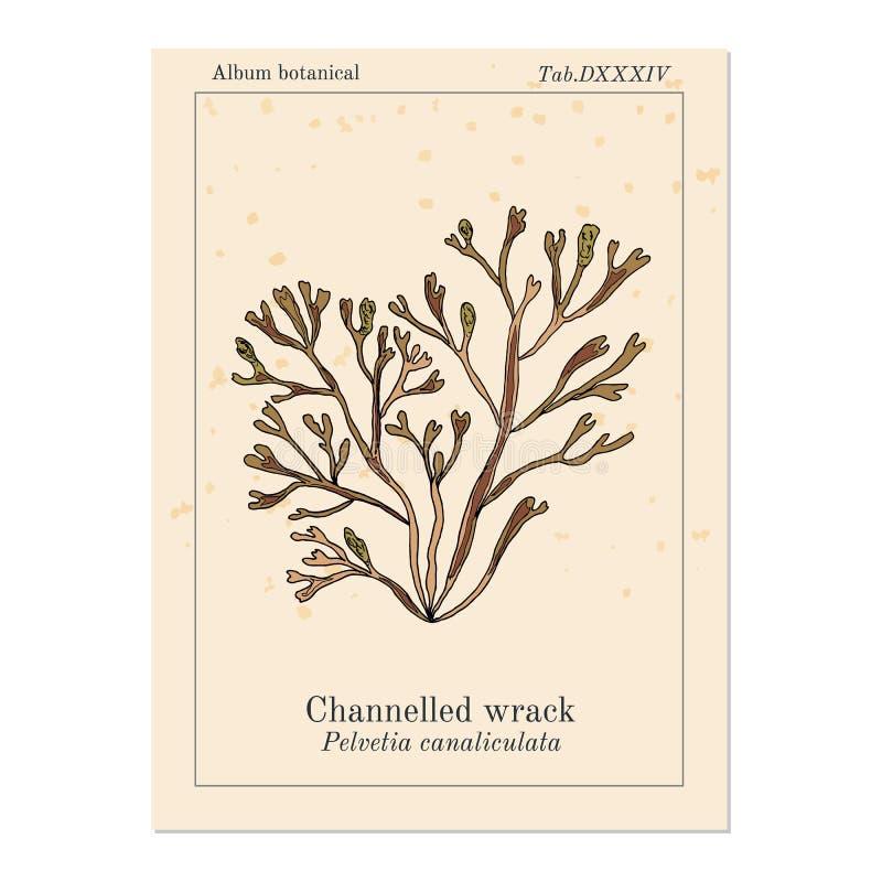 Διοχετευμένο canaliculata pelvetia φυκιών, φύκι ελεύθερη απεικόνιση δικαιώματος