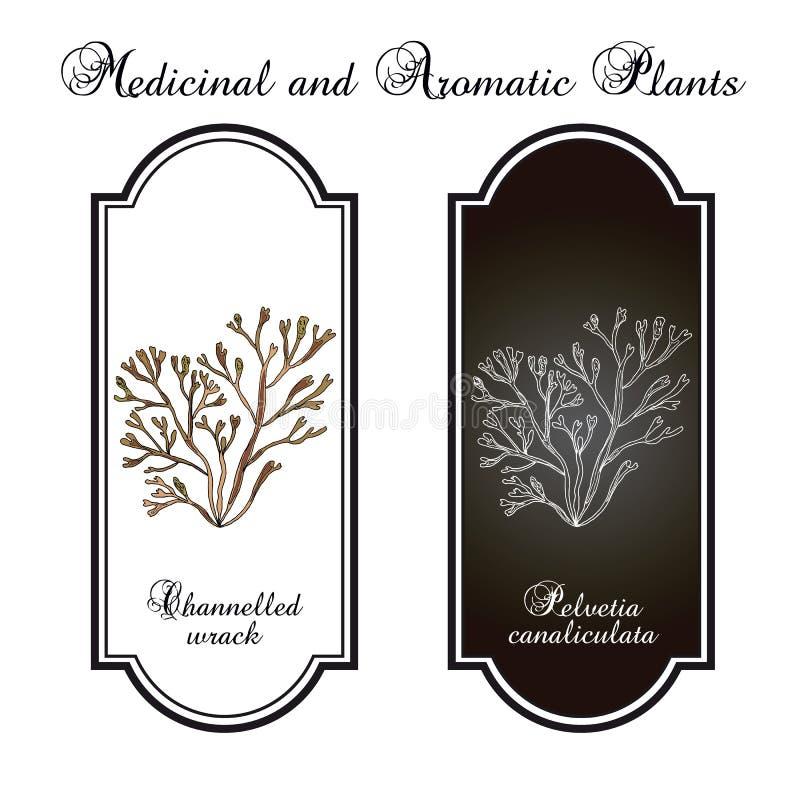 Διοχετευμένο canaliculata pelvetia φυκιών, φύκι διανυσματική απεικόνιση