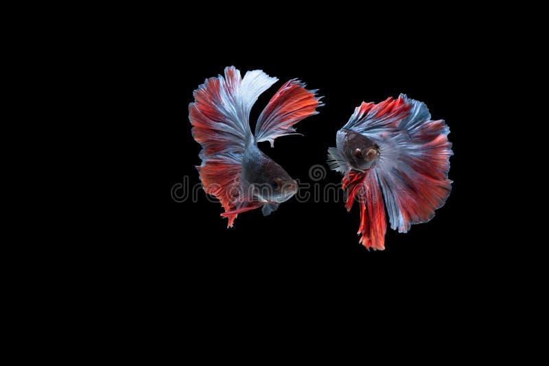 Διπλά ζωηρόχρωμα ψάρια Betta, σιαμέζα ψάρια πάλης που απομονώνονται στο μαύρο υπόβαθρο, κόκκινα και μπλε μισά ψάρια betta φεγγαρι στοκ εικόνες