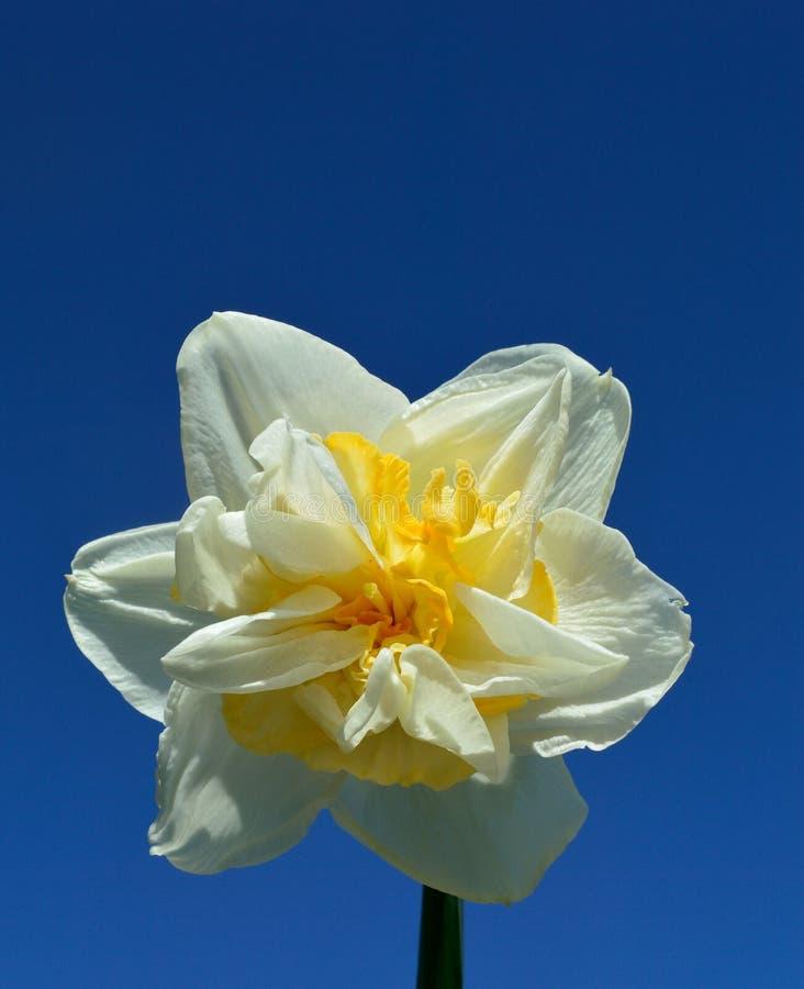 Διπλοί νάρκισσοι Daffodil άσπροι και κίτρινοι στο υπόβαθρο μπλε ουρανού στοκ φωτογραφίες