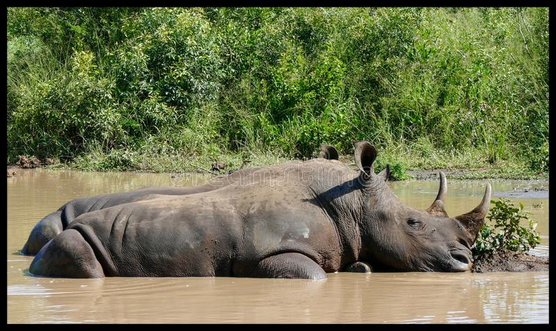 Διπλοί ρινόκεροι που στο νερό Νότια Αφρική στοκ φωτογραφία με δικαίωμα ελεύθερης χρήσης