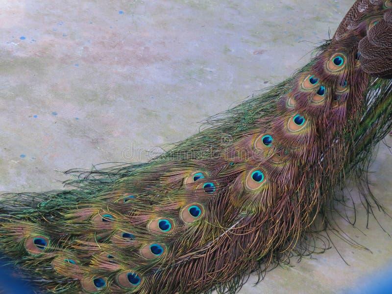 Διπλωμένη γραφική ουρά peacock σε ένα πάτωμα χρώματος Διαγώνιος που τοποθετείται στοκ φωτογραφίες