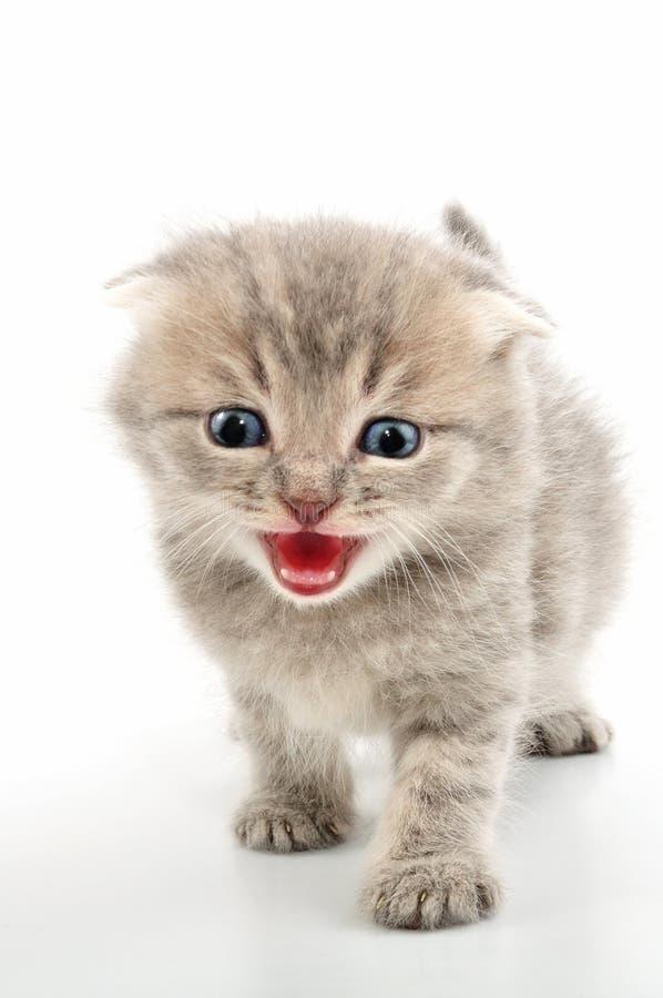 Διπλωμένο σκωτσέζικο τιγρέ γατάκι αυτιών στοκ εικόνες
