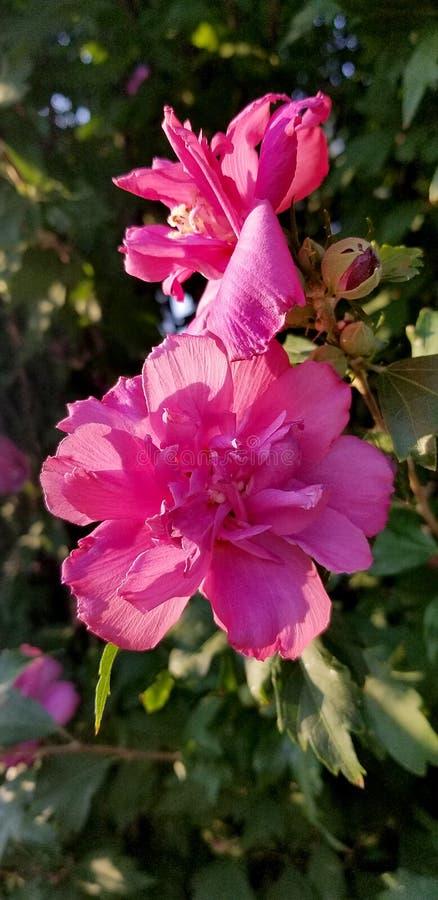 Διπλό λουλούδι Hollyhock σε έναν κήπο που παρουσιάζει αναδρομικά φωτισμένα σκοτεινά ρόδινα λουλούδια στοκ εικόνες με δικαίωμα ελεύθερης χρήσης