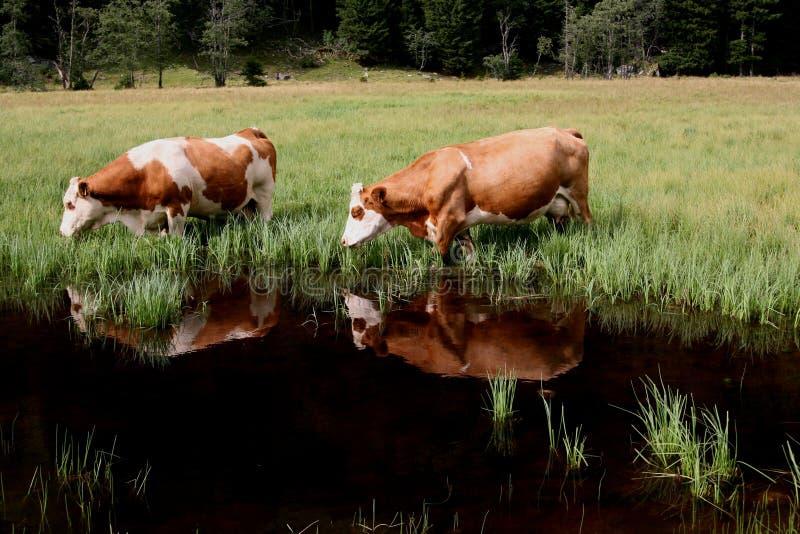 Διπλή αντανάκλαση αγελάδων στοκ φωτογραφία με δικαίωμα ελεύθερης χρήσης