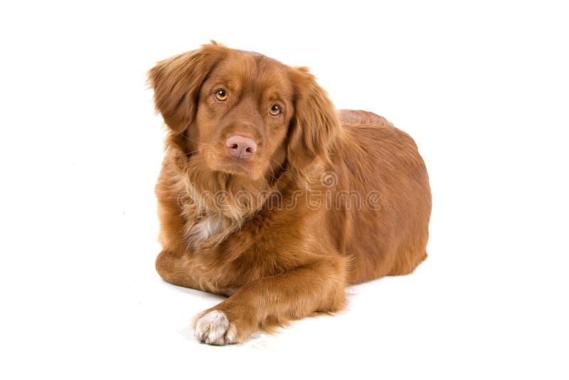 διόδια scotia novia παπιών σκυλιών στοκ φωτογραφία με δικαίωμα ελεύθερης χρήσης