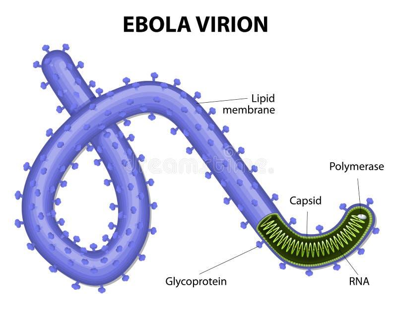 Δομή ενός ebolavirus virion διανυσματική απεικόνιση