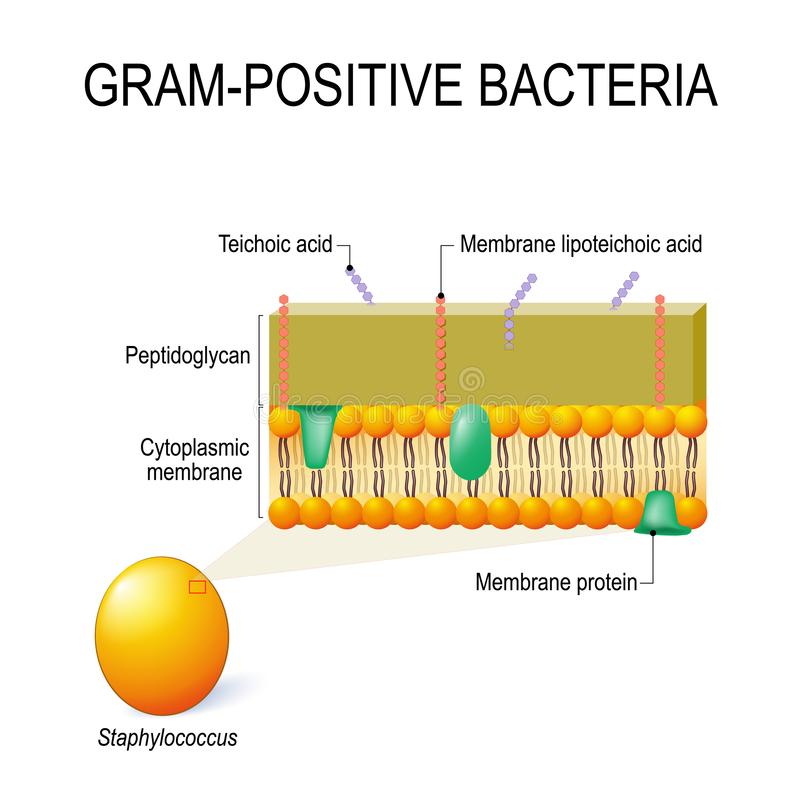 Δομή κυψελοειδούς τοίχου των Gram-positive βακτηριδίων παραδείγματος χάριν Staphy απεικόνιση αποθεμάτων