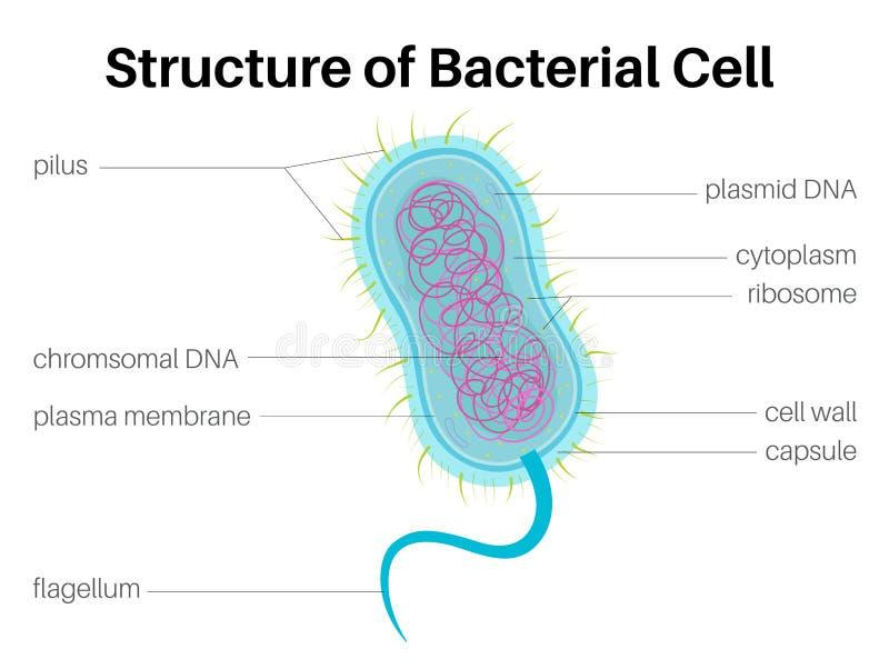 Δομή του βακτηριακού κυττάρου διανυσματική απεικόνιση