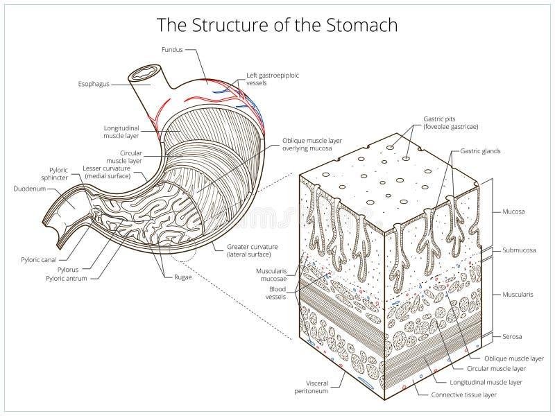 Download Δομή του ιατρικού εκπαιδευτικού διανύσματος στομαχιών Διανυσματική απεικόνιση - εικονογραφία από έντερα, χρώμα: 62703082