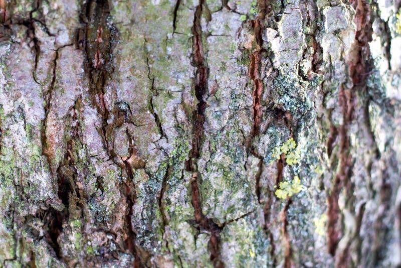 Δομή του φλοιού ενός δέντρου με τις ρωγμές και convolutions_ στοκ εικόνες