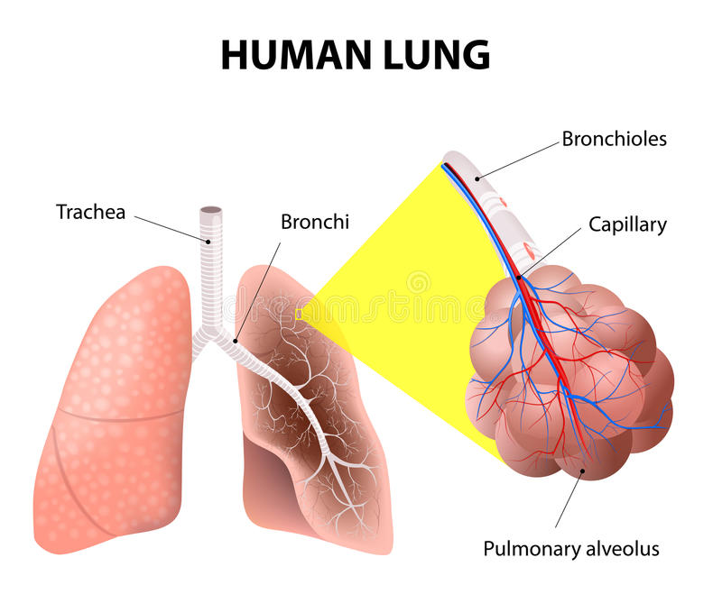 Δομή των ανθρώπινων πνευμόνων Ανθρώπινη ανατομία διανυσματική απεικόνιση