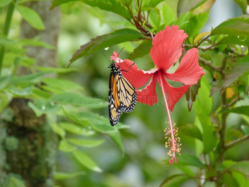Δομινικανή άγρια πεταλούδα γνωστή επίσης ως gallito στοκ φωτογραφίες