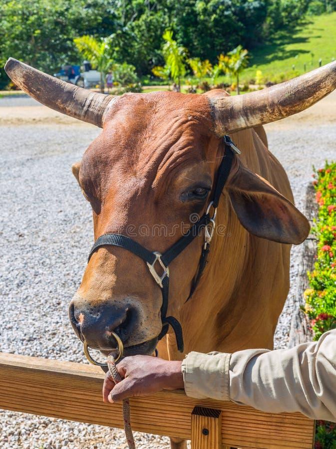 Δομινικανός ταύρος στοκ εικόνα