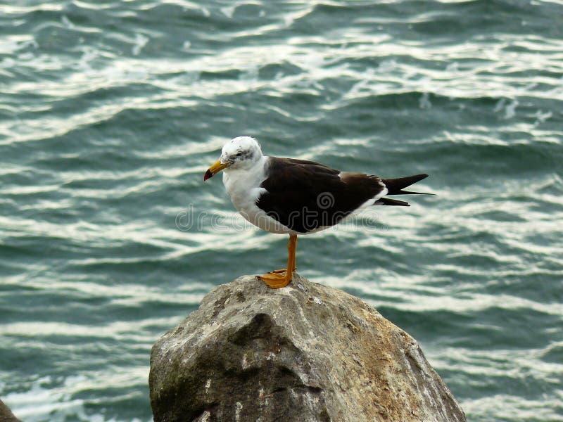 Δομινικανό seagull πέρα από το βράχο στη θάλασσα στοκ φωτογραφίες με δικαίωμα ελεύθερης χρήσης