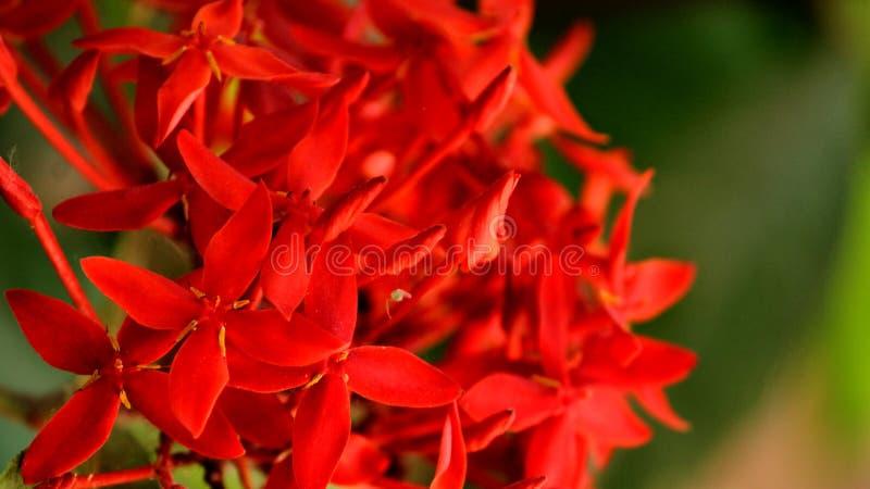 Δονούμενα κόκκινα λουλούδια Ixora στοκ φωτογραφία με δικαίωμα ελεύθερης χρήσης