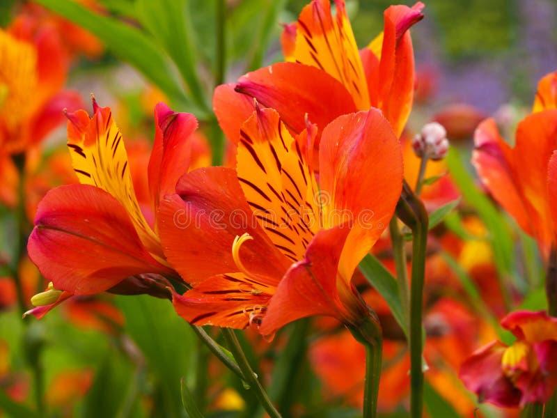 Δονούμενα πορτοκαλιά λουλούδια κρίνων Alstroemeria περουβιανά στοκ εικόνα με δικαίωμα ελεύθερης χρήσης