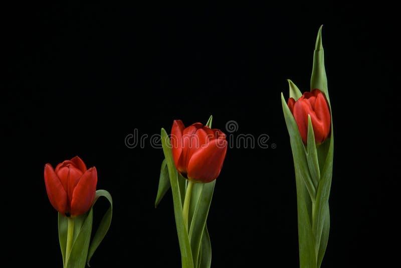 Δονούμενες κόκκινες τουλίπες στο μαύρο υπόβαθρο στοκ φωτογραφία