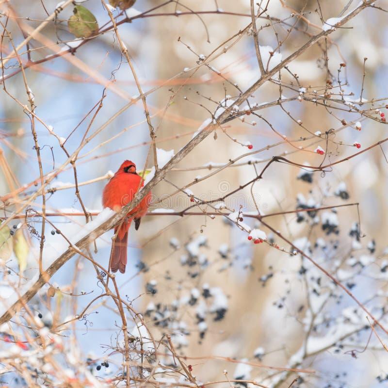 Δονούμενη κόκκινη βασική συνεδρίαση σε έναν κλάδο το χειμώνα με το κόκκινο και στοκ φωτογραφία