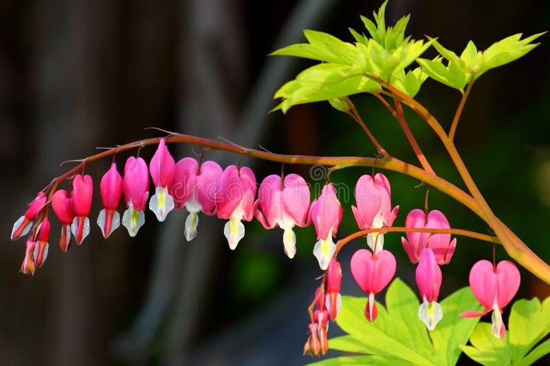 Δονούμενη χρωματισμένη ρόδινη αιμορραγώντας καρδιά στοκ εικόνα