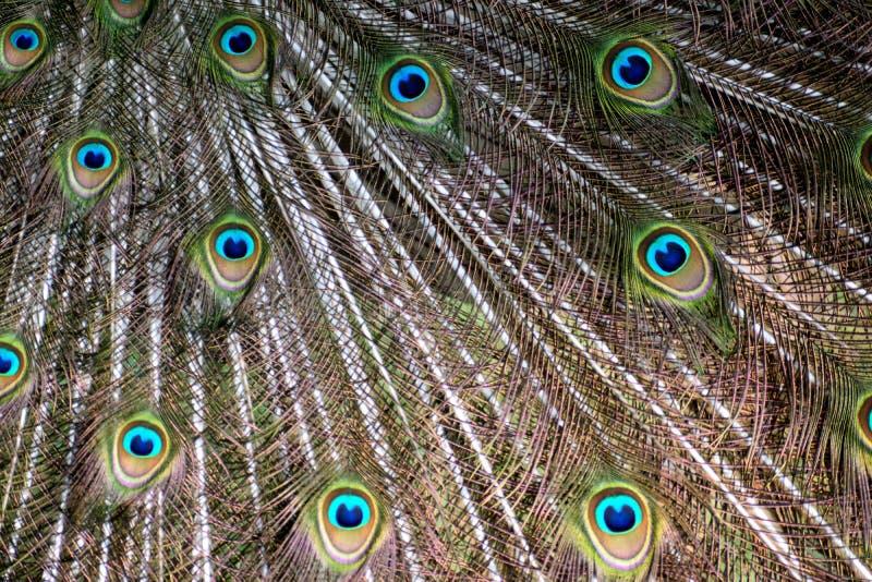 Δονούμενο σχέδιο υποβάθρου φτερών Peacock χρώματος στοκ φωτογραφίες με δικαίωμα ελεύθερης χρήσης