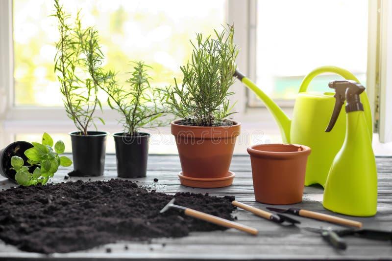 Δοχεία με τα φρέσκα αρωματικά χορτάρια, χώμα και εξοπλισμός κηπουρικής στον ξύλινο πίνακα κοντά στο παράθυρο στοκ φωτογραφία με δικαίωμα ελεύθερης χρήσης