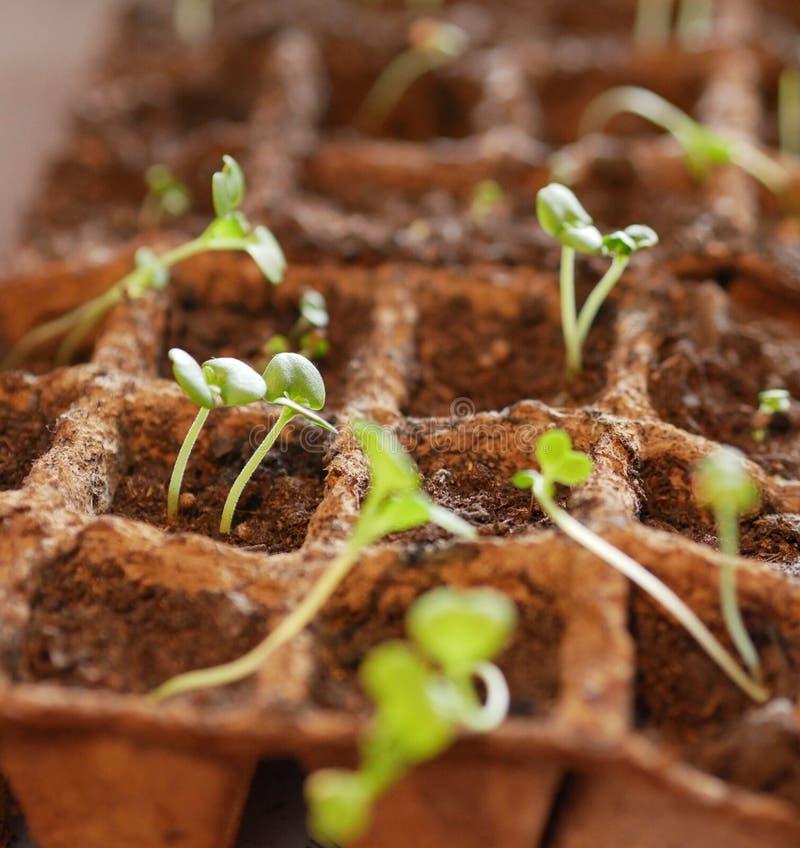 Δοχεία τύρφης με το χώμα και τα μικροσκοπικά σπορόφυτα κινεζικών λάχανων στοκ φωτογραφίες