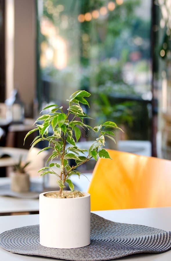 Δοχείο λουλουδιών με Ficus Benjamina Houseplant που στέκεται στον πίνακα του καφέ θερινών πόλεων στοκ φωτογραφία με δικαίωμα ελεύθερης χρήσης