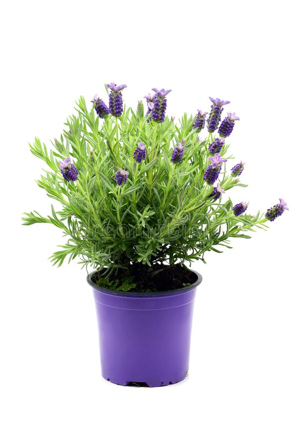Δοχείο λουλουδιών των ισπανικών lavender stoechas Lavandula στον άσπρο ISO στοκ εικόνες