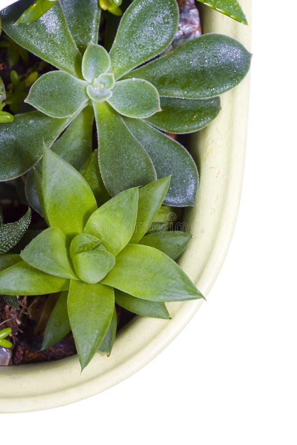 Download δοχείο φυτών succulent στοκ εικόνες. εικόνα από απομονωμένος - 13179182