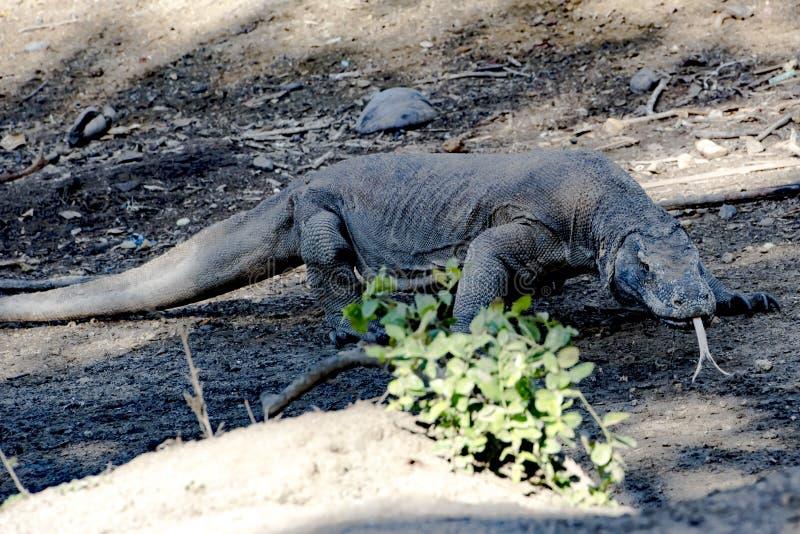 Δράκος Komodo, εθνικό πάρκο Komodo, περιοχή παγκόσμιων κληρονομιών στοκ φωτογραφίες με δικαίωμα ελεύθερης χρήσης