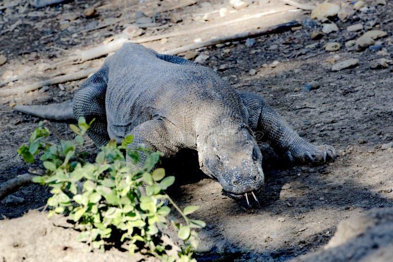 Δράκος Komodo, εθνικό πάρκο Komodo, περιοχή παγκόσμιων κληρονομιών στοκ εικόνες με δικαίωμα ελεύθερης χρήσης