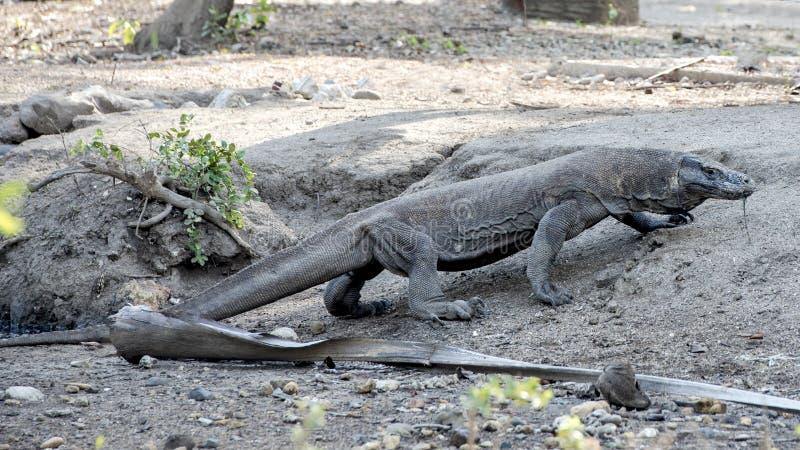 Δράκος Komodo, εθνικό πάρκο Komodo, περιοχή παγκόσμιων κληρονομιών στοκ φωτογραφία με δικαίωμα ελεύθερης χρήσης
