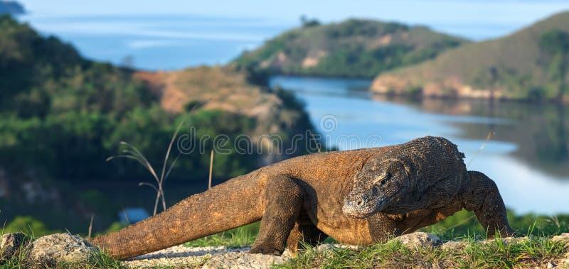 Δράκος Komodo, επιστημονικό όνομα: Komodoensis Varanus Φυσική άποψη σχετικά με το υπόβαθρο, φυσικός βιότοπος Ινδονησία στοκ εικόνες με δικαίωμα ελεύθερης χρήσης
