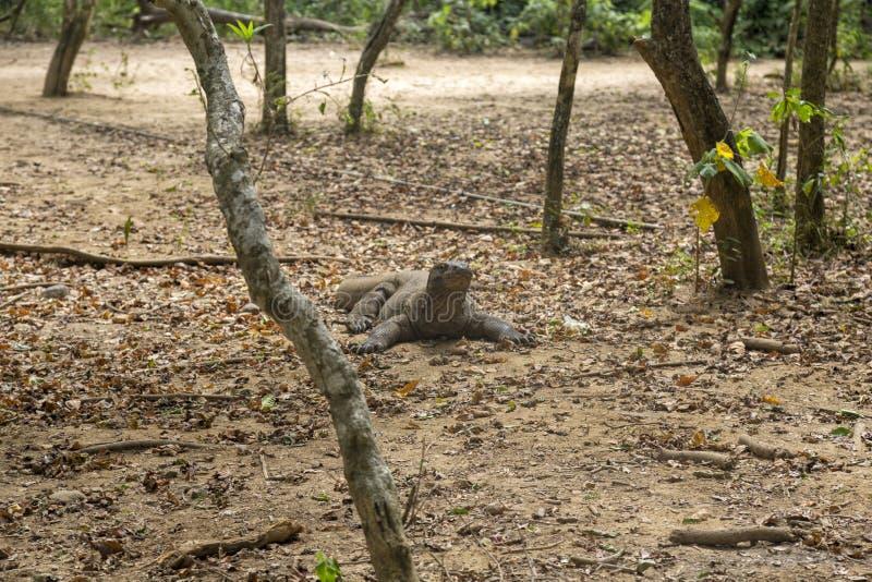 Δράκος Komodo που καταψύχει έξω στοκ εικόνες