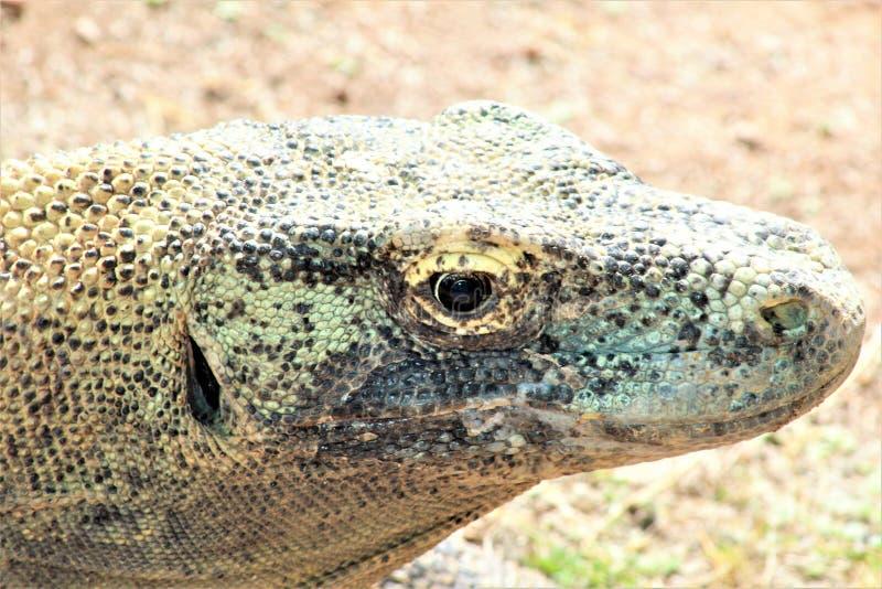 Δράκος Komodo στο ζωολογικό κήπο του Phoenix, κέντρο της Αριζόνα για τη συντήρηση φύσης, Phoenix, Αριζόνα, Ηνωμένες Πολιτείες στοκ εικόνα