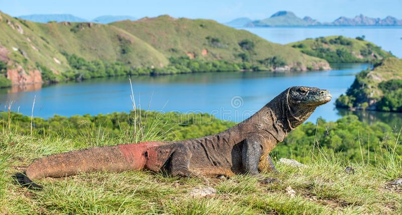 Δράκος Komodo Komodoensis Varanus Ινδονησία στοκ εικόνες