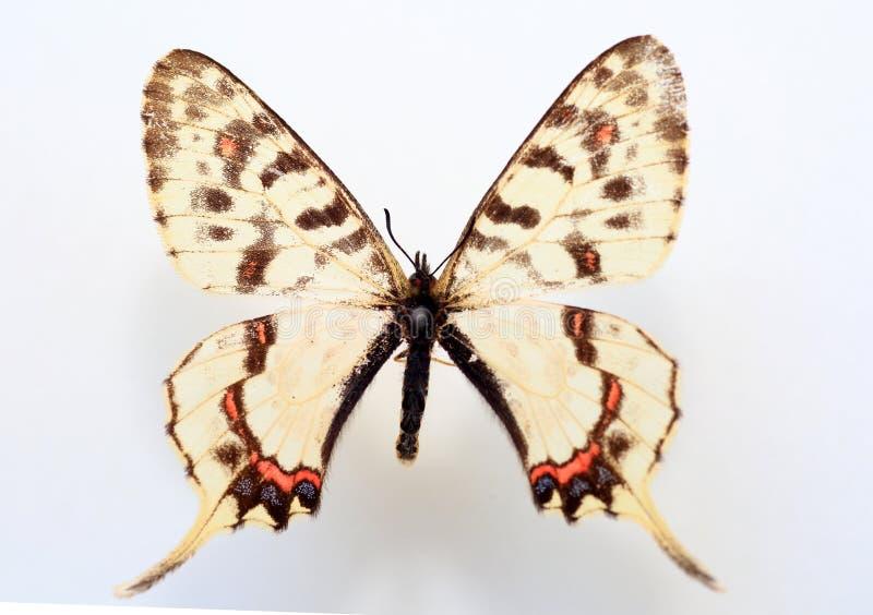 Δράκος swallowtail στοκ εικόνες