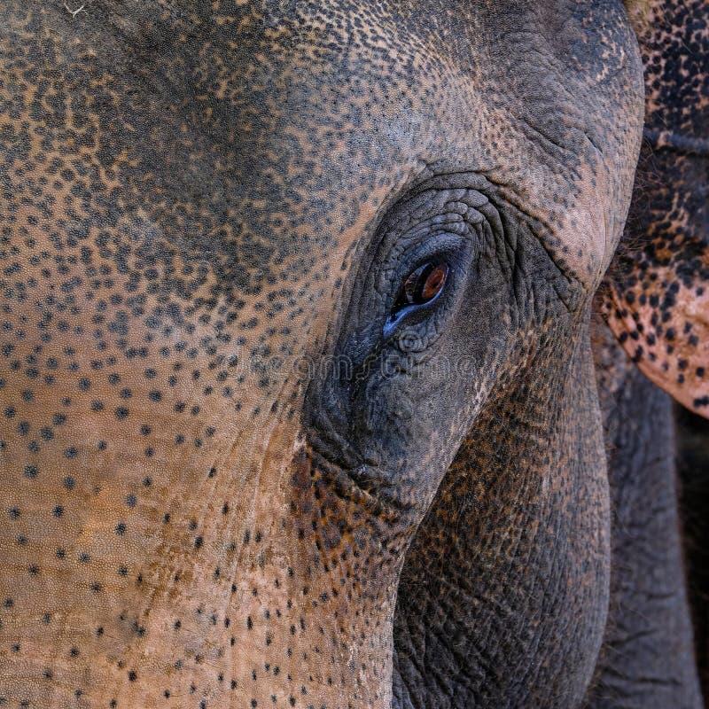 Δράμα πορτρέτου προσώπου ελεφάντων της Ταϊλάνδης στοκ φωτογραφία
