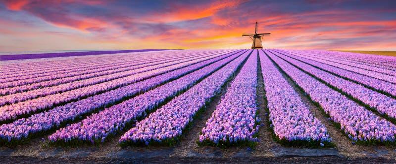 Δραματική σκηνή άνοιξη στο αγρόκτημα λουλουδιών στοκ φωτογραφίες με δικαίωμα ελεύθερης χρήσης