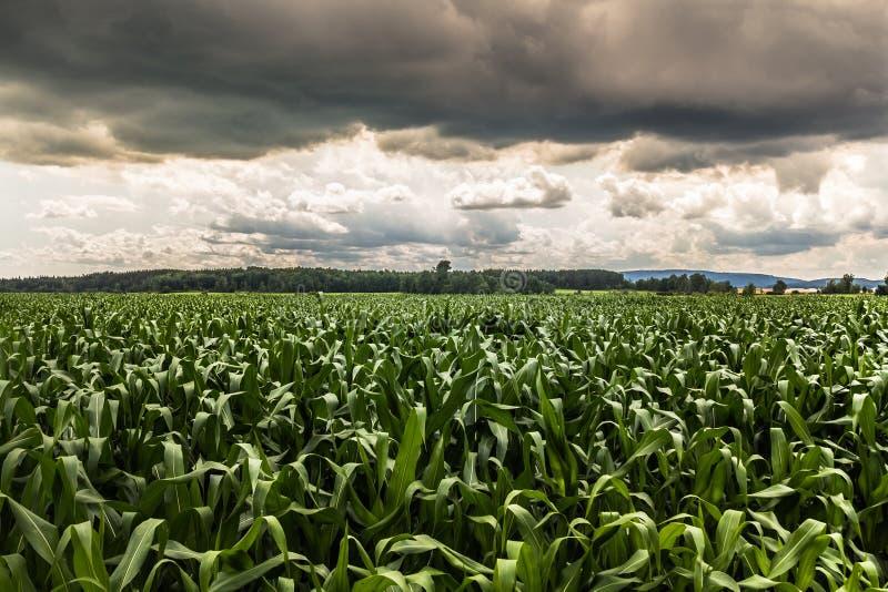 Δραματικό τοπίο τομέων καλαμποκιού ουρανού στοκ φωτογραφία με δικαίωμα ελεύθερης χρήσης