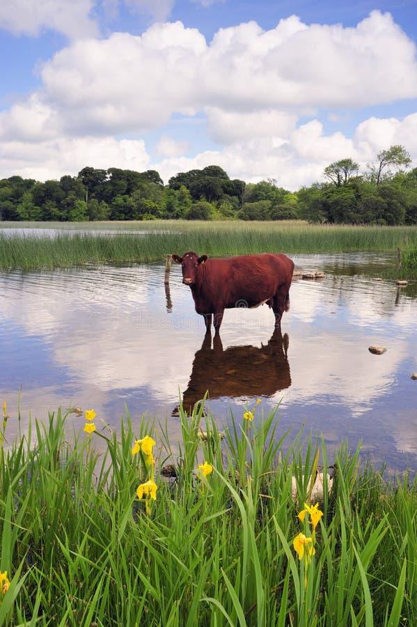 δροσερή αγελάδα στοκ φωτογραφίες με δικαίωμα ελεύθερης χρήσης