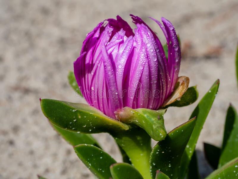 Δροσιά πρωινού σε ένα σύκο Hottentots λουλουδιών στοκ εικόνες