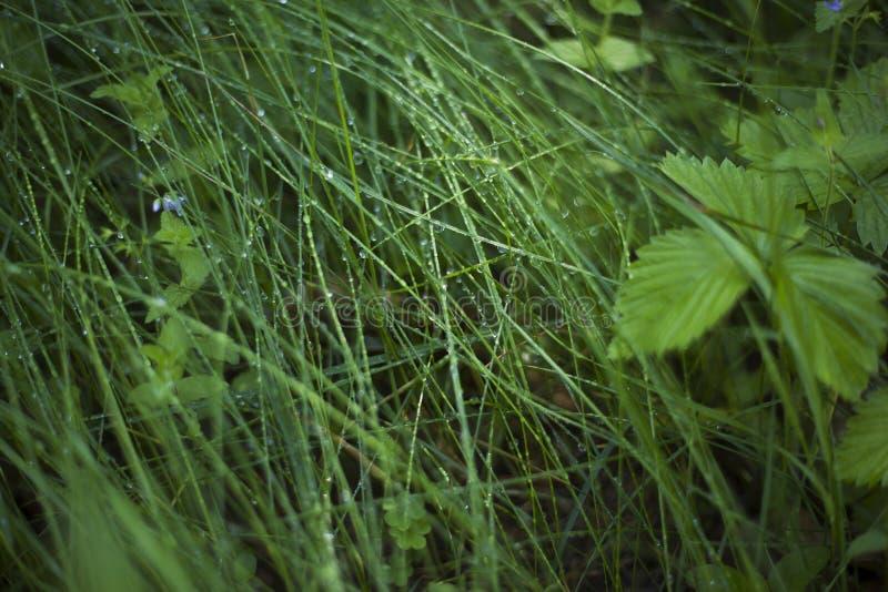 Δροσιά πρωινού στην πράσινη δασική χλόη, υπόβαθρο πτώσεων δροσιάς στοκ φωτογραφία με δικαίωμα ελεύθερης χρήσης