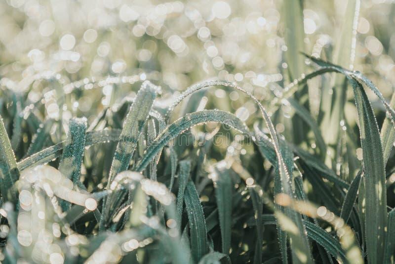 Δροσιά πρωινού στην πράσινη χλόη στο φυσικό φως του ήλιου πρωινού στοκ φωτογραφία με δικαίωμα ελεύθερης χρήσης